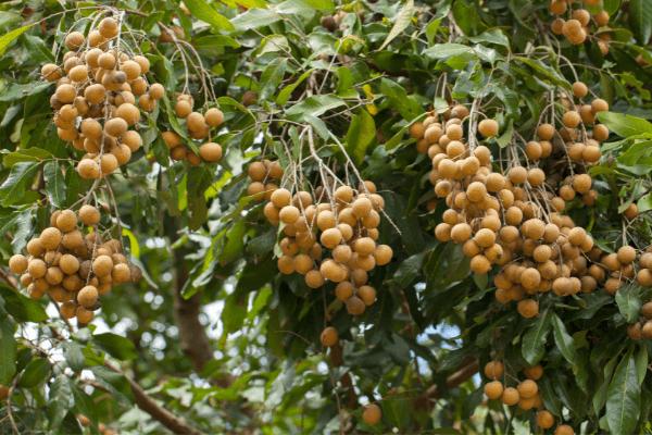 xuất khẩu nhãn việt nam sang trung quốc (1)